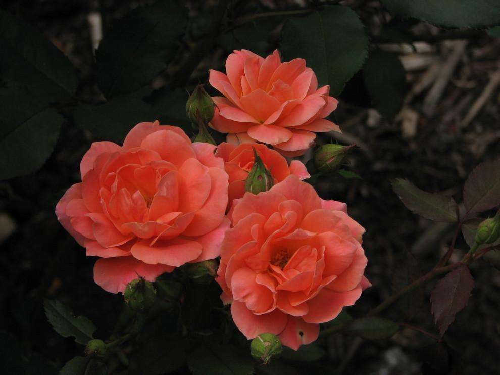 celebration rose